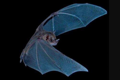 سفر به 3400 سال قبل با آنالیز مدفوع خفاش!
