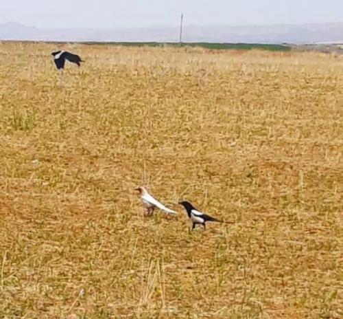 مشاهده گونه نادر زاغ سفید در منطقه حفاظت شده بدر و پریشان استان کردستان