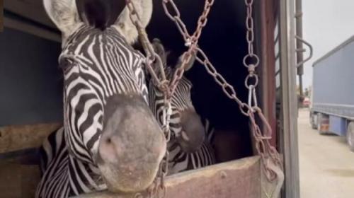 مرگ عجیب گورخر آفریقایی یک هفته پس از ورود به ایران