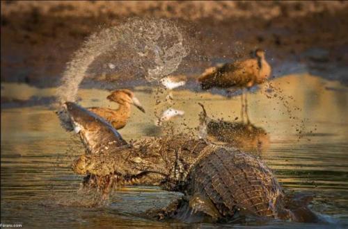تمساح یک گربه ماهی را متلاشی کرد!